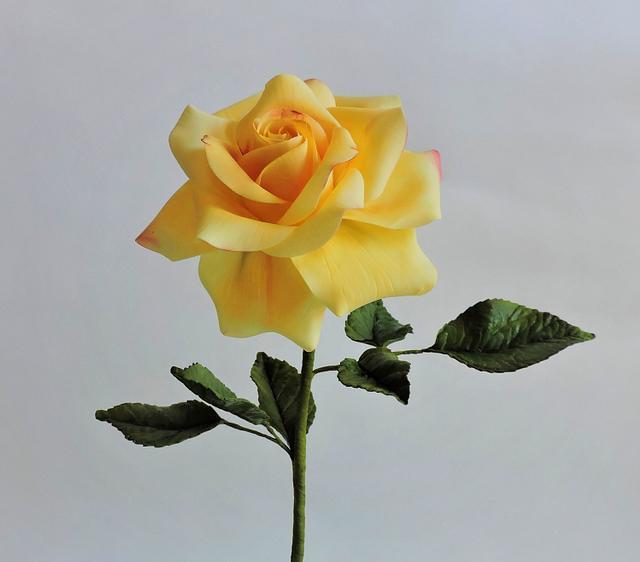 Sentimental Yellow Rose