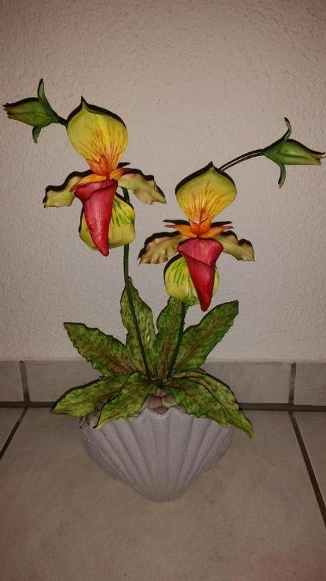Lady Slipper Orchid...