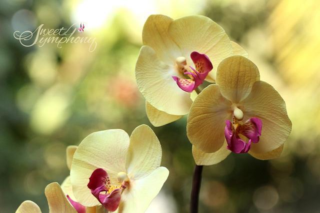 phalaenopsis/Moth Orchids