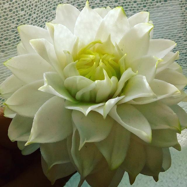 Sugar Dahlia Flower