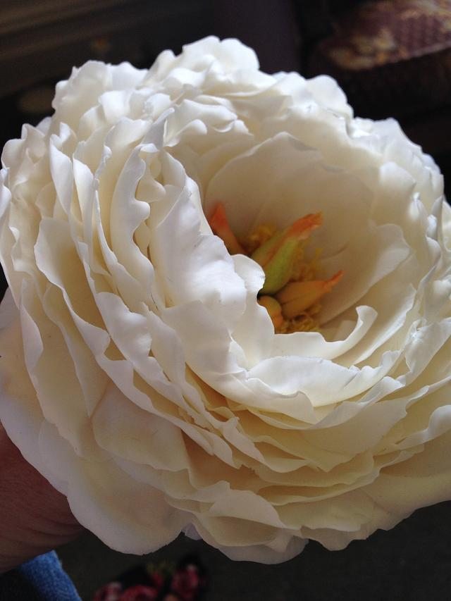 Open freeform Sugar peony Rose