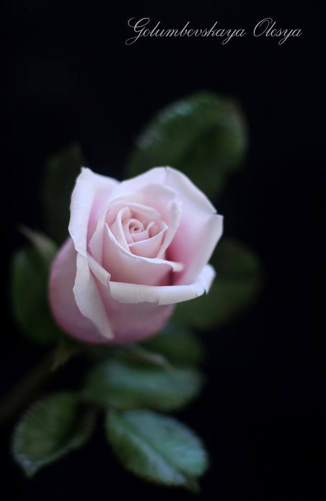 sugar roses...