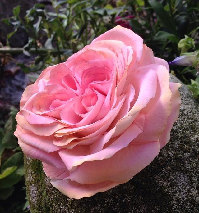 English Freeform sugar rosé