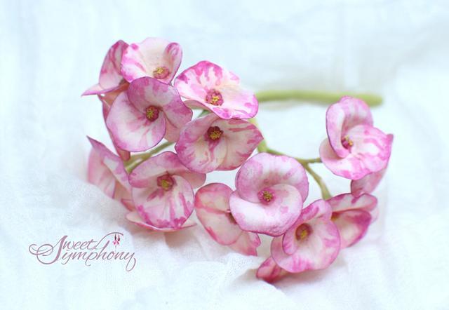 Euphorbia sugar flower