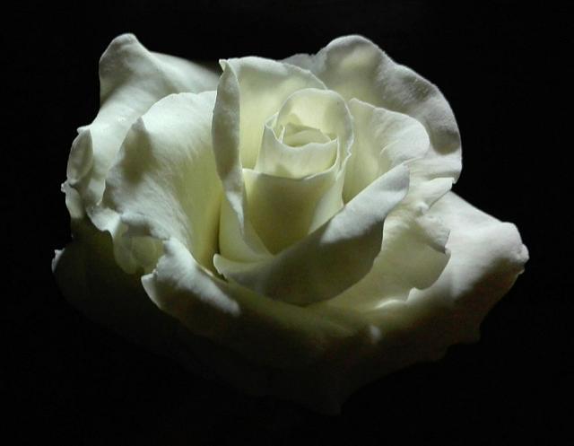 simply a rose