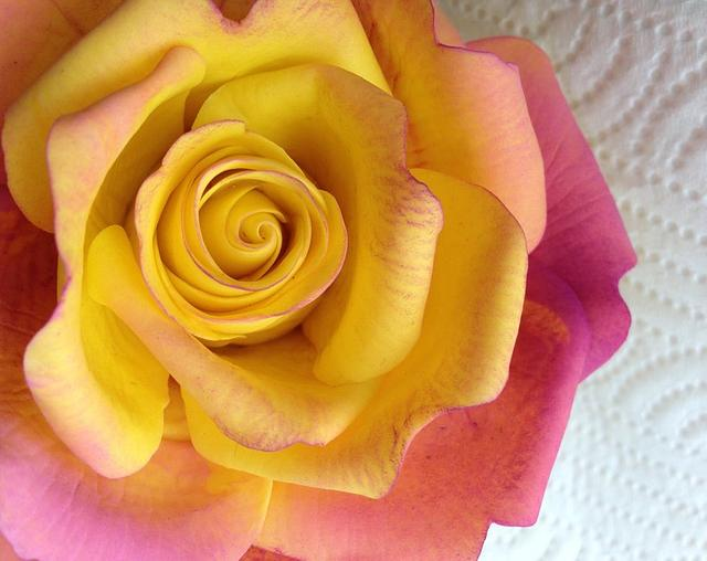 Just Playing!!! Yellow and Pink Gum Paste Rose