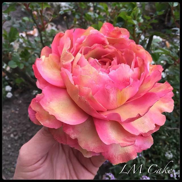 Tree Sugar peony rose