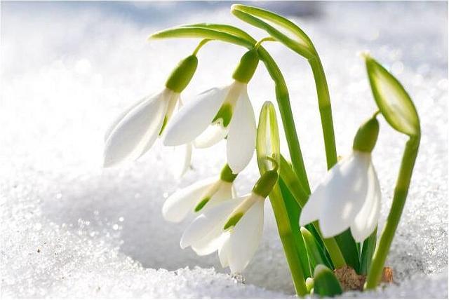 snowdrop gumpaste flowers topper