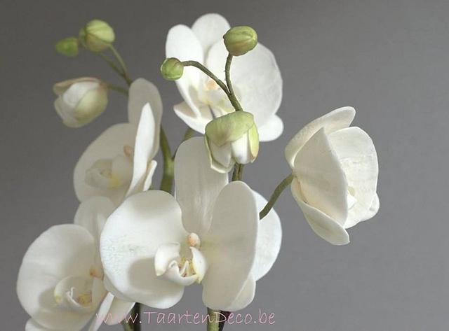 white orchids phaleanopsis moth