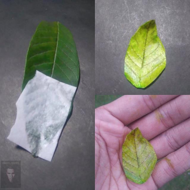 Wafer Paper Leaf
