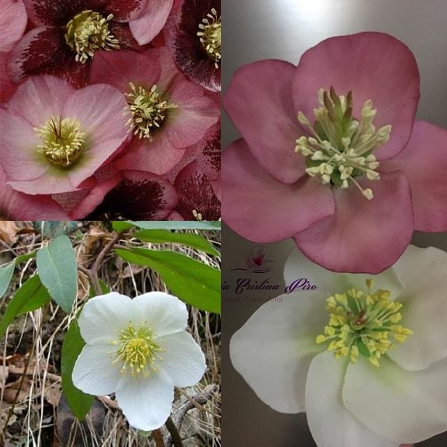 Waiting for Christmas...Hellebore