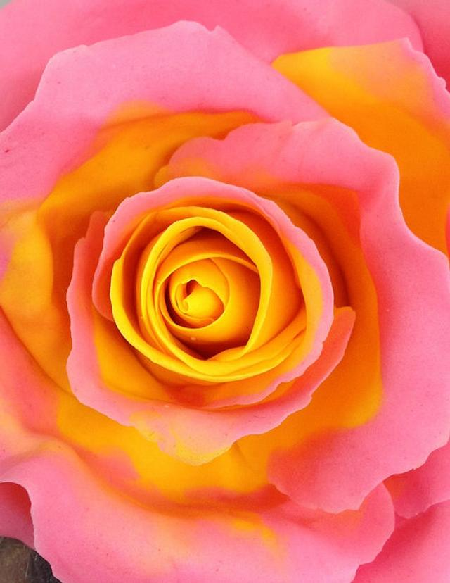 Yellow center pink edged icing Rose