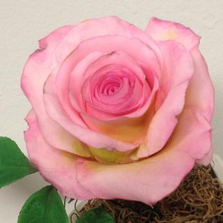 Sugar rose, rosa de azucar