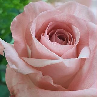 Rose  - Cake by Ms. V