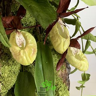 """Happy Woman Slipper"" orchid"