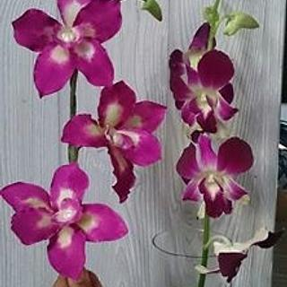 a Lovely Challenge - Orchid Flowers