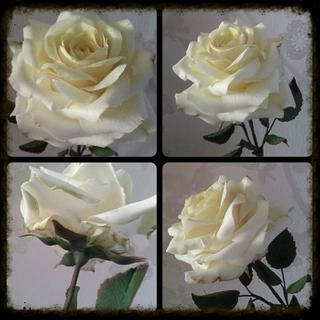 Icing Avalanche Rose