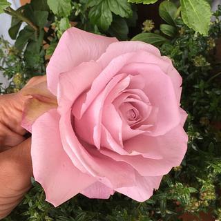 Rose))))))
