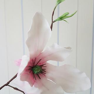 Sugar magnolia