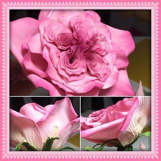 English old fasion rose