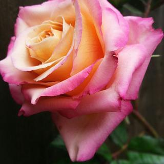 Summer garden rose.