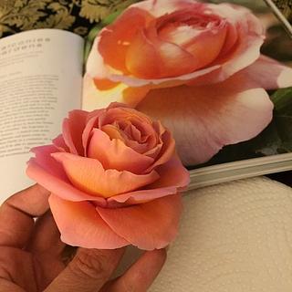Sugar rose Abraham Darby a David Austin rose