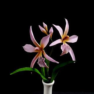 Encyclia Sima Orchids