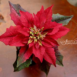 Red sugar Poinsettia