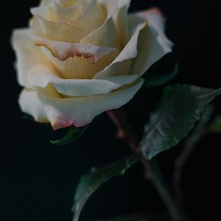 Rose - Cake by José Pablo Vega