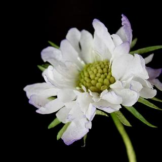 Scabiosa,wafer paper