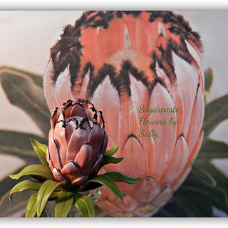 Sugar Protea