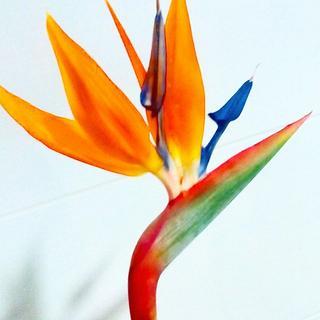 bird of paradise flower- work in progress