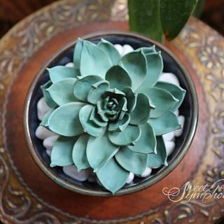 Gorgeous Echeveria Succulent