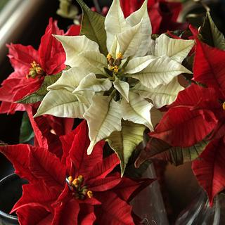 White and red Poinsettias
