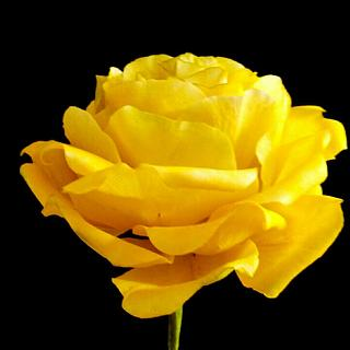 Free formed gumpaste yellow rose