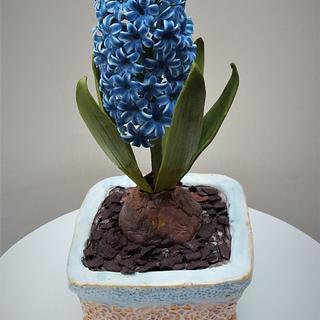 Sugar hyacith in a cake pot