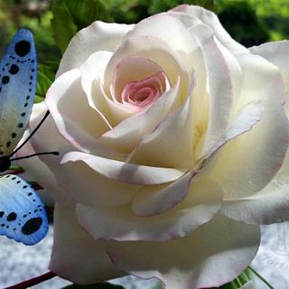 White rose with butterfly