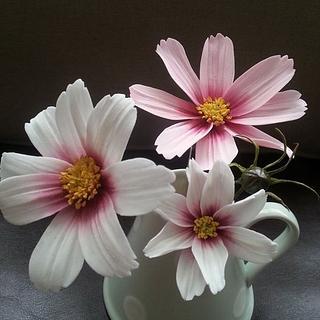 Sugar Cosmos Flower