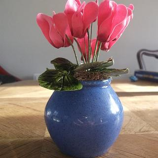 winter cyclamen
