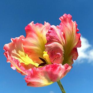 Free Formed Gumpaste Parrot Tulip
