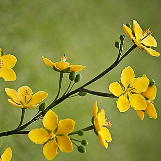 Ochna Flower (Mai Flower)