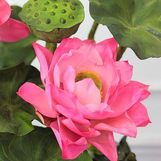 Sugar Lotus .