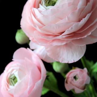Ranunculus Sugar Flowers