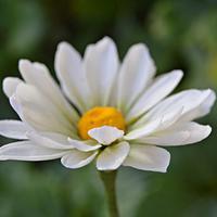 Daisy-  wild summer