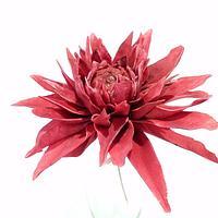 Dark red sugar dahlia