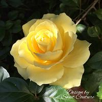 My yellow sugar rose.