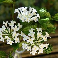 My sugar white Lantana