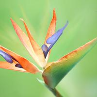 Wafer Paper Flower:  Bird of Paradise - Strelitzia