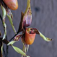 Paphiopedilum or Slipper Orchid.