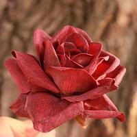 Wafer paper rose 🌹